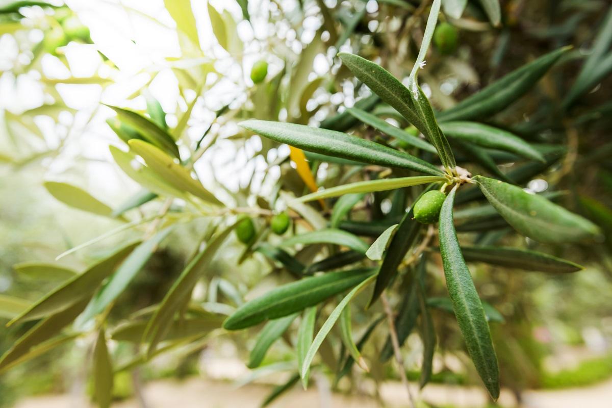árvore responsável pelo extrato de oliveira